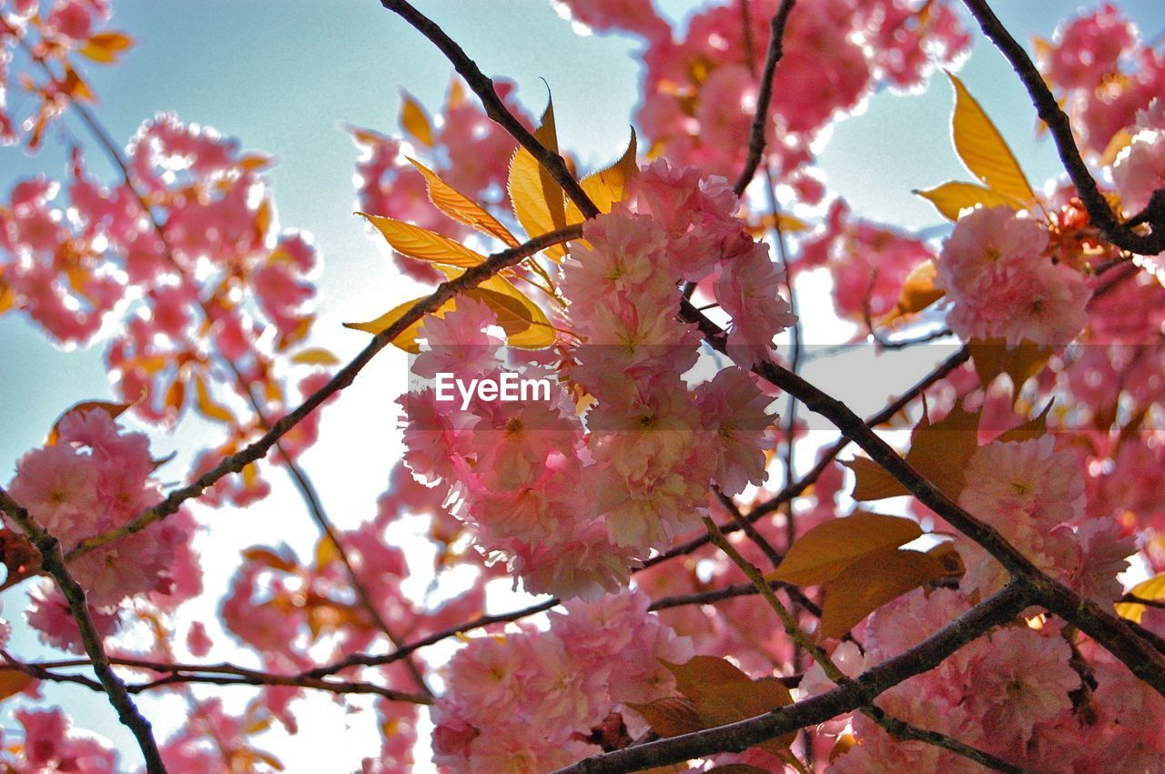 plant, flower, flowering plant, beauty in nature, fragility, branch, pink color, freshness, tree, growth, vulnerability, blossom, springtime, nature, low angle view, close-up, day, no people, twig, petal, outdoors, cherry blossom, cherry tree, pollen, flower head, plum blossom, spring