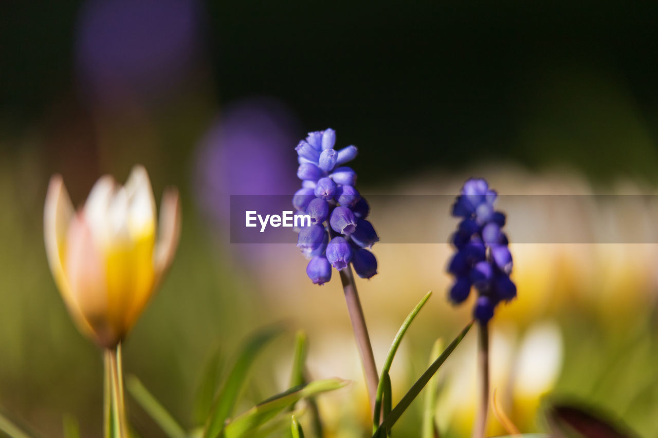 flowering plant, flower, beauty in nature, vulnerability, plant, fragility, freshness, growth, close-up, petal, flower head, inflorescence, purple, nature, selective focus, no people, plant stem, focus on foreground, field, yellow, springtime