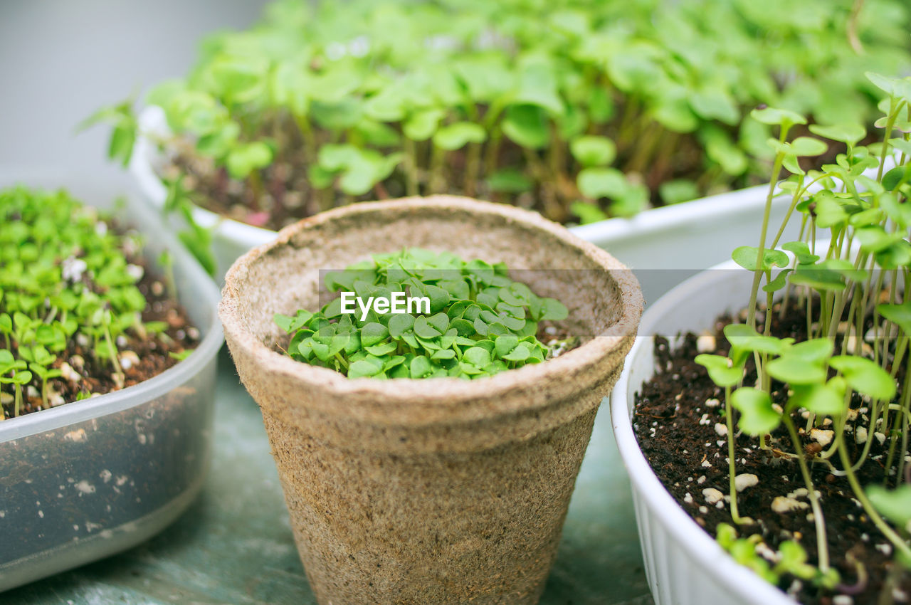 growth, potted plant, plant, green color, close-up, focus on foreground, food and drink, no people, day, freshness, leaf, selective focus, nature, food, plant part, high angle view, outdoors, beauty in nature, container, herb