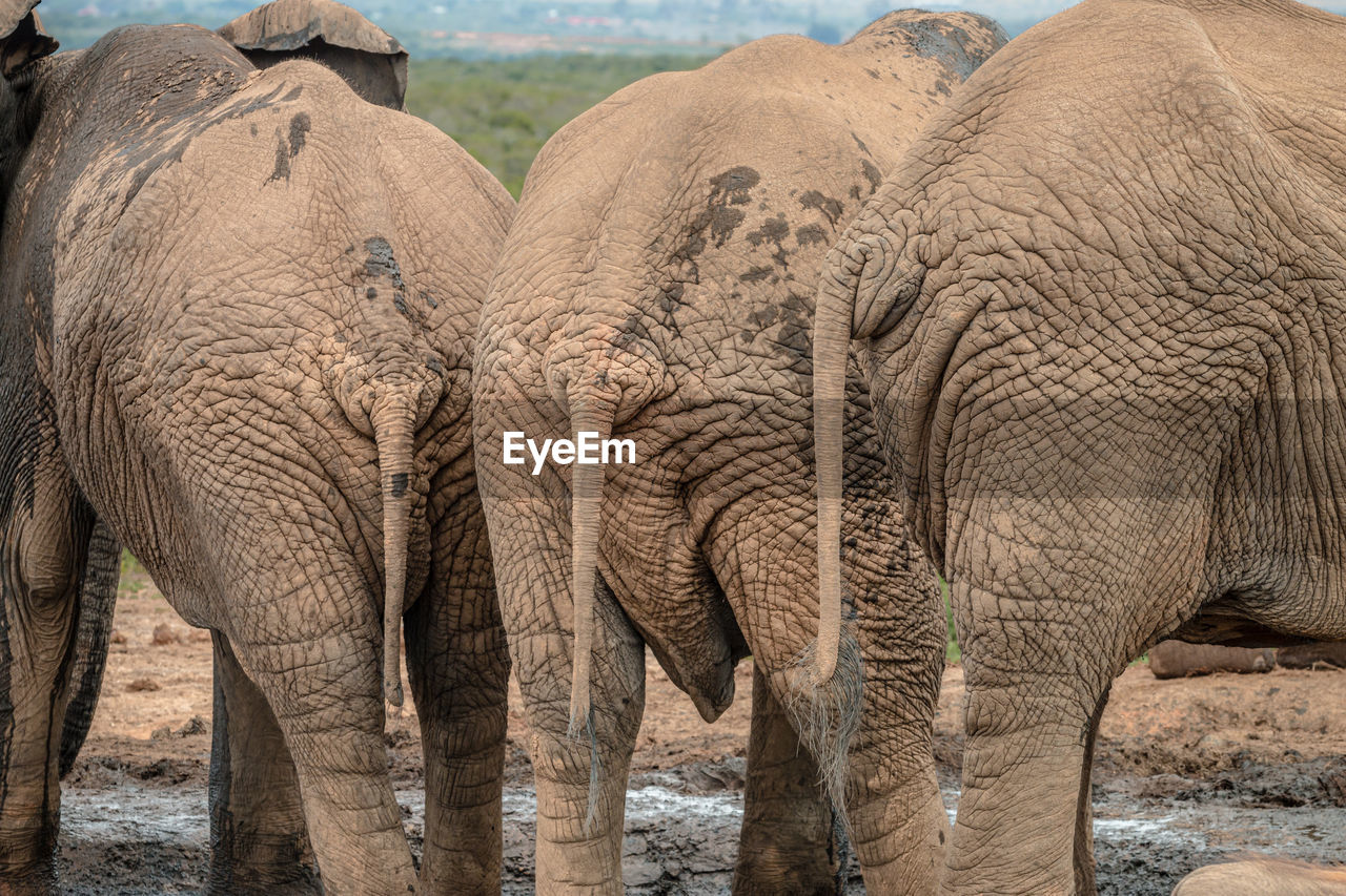 SIDE VIEW OF ELEPHANT IN ANIMAL