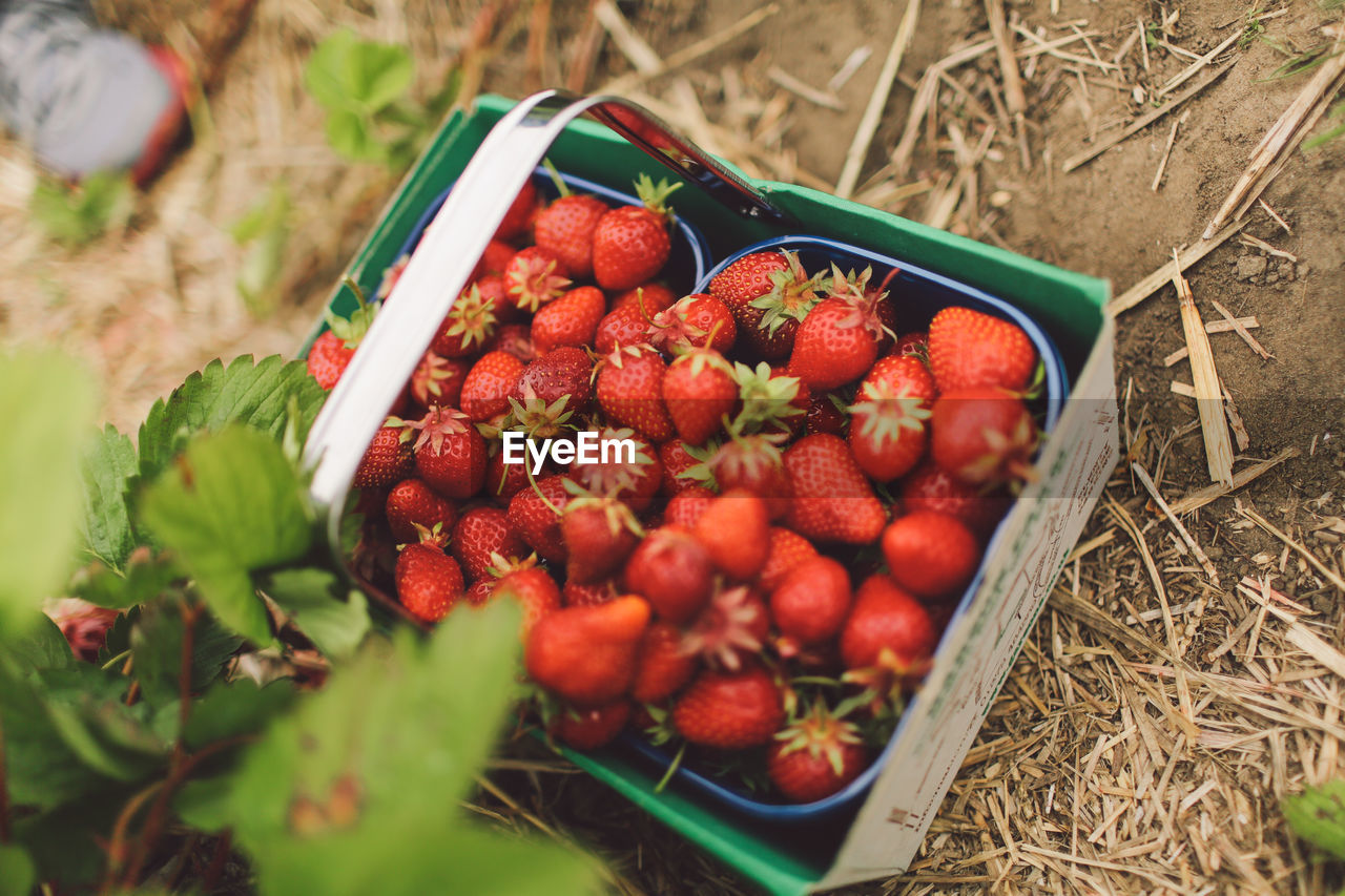 High Angle View Of Strawberries In Containers On Field