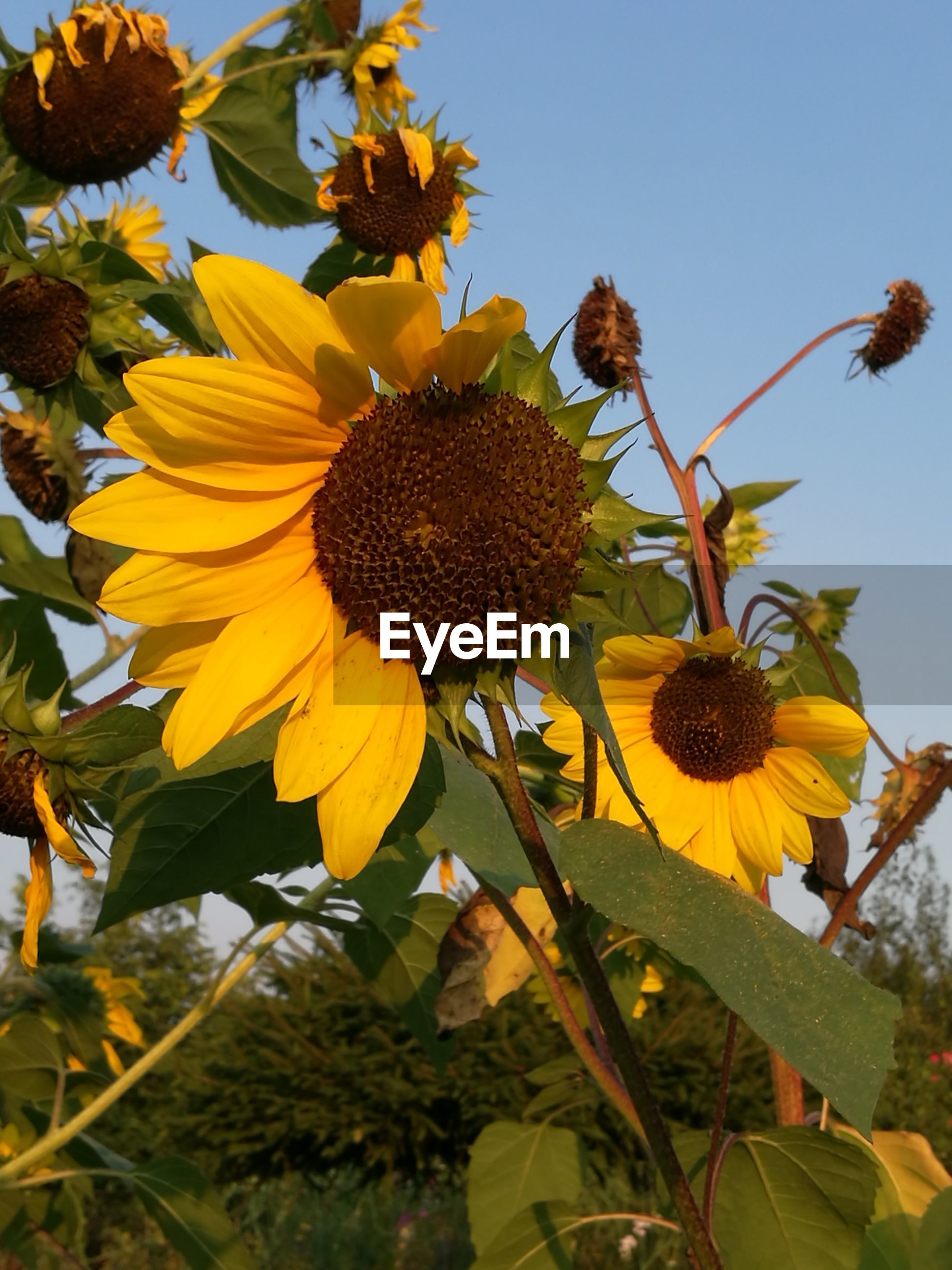 LOW ANGLE VIEW OF SUNFLOWER BLOOMING AGAINST CLEAR SKY