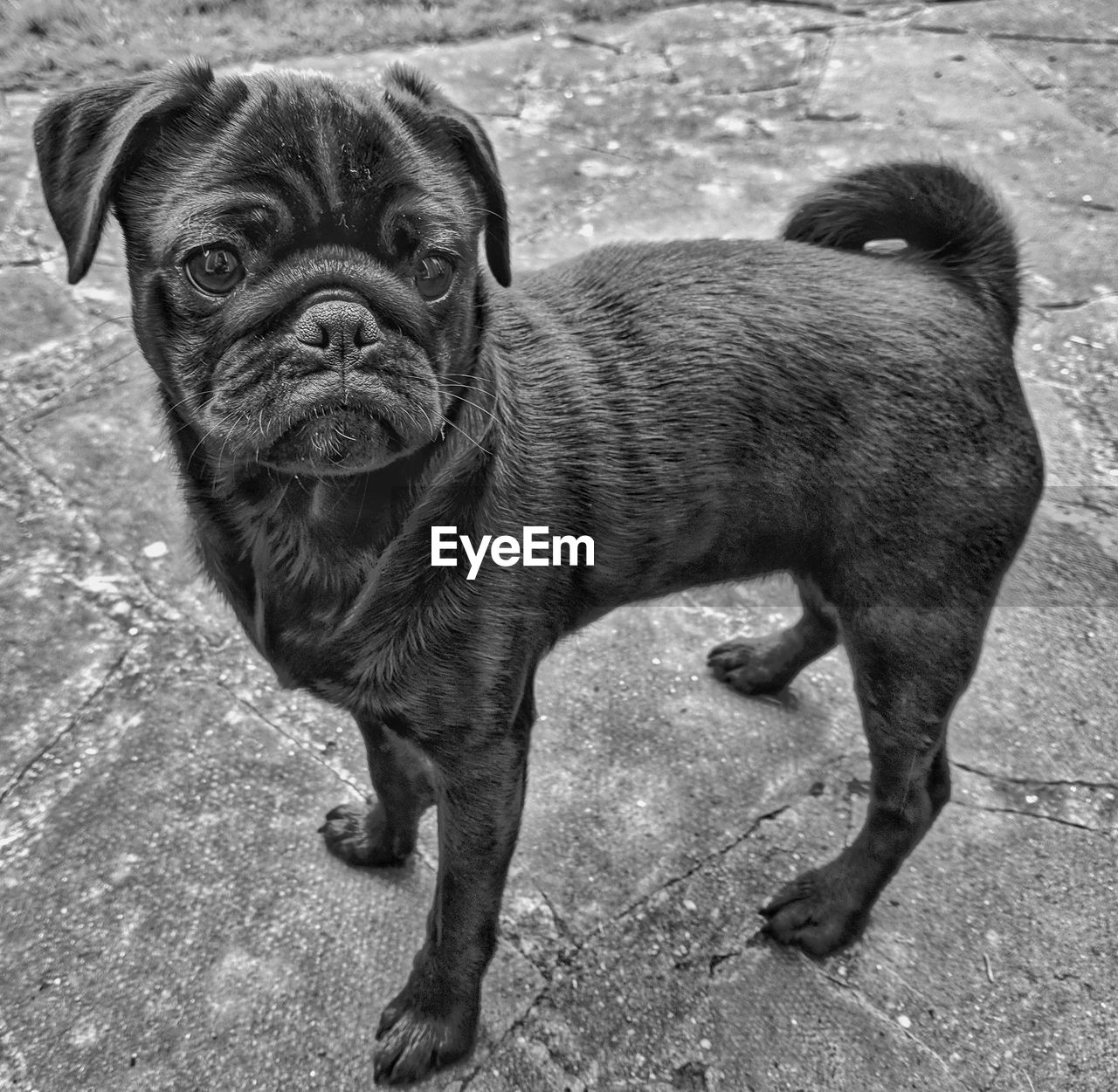 mammal, canine, dog, domestic animals, pets, domestic, one animal, vertebrate, looking at camera, portrait, no people, standing, young animal, day, puppy, full length, pug