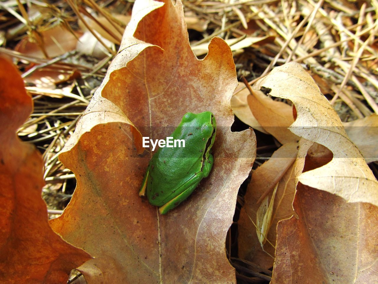 High Angle View Of Green Frog On Dry Leaf