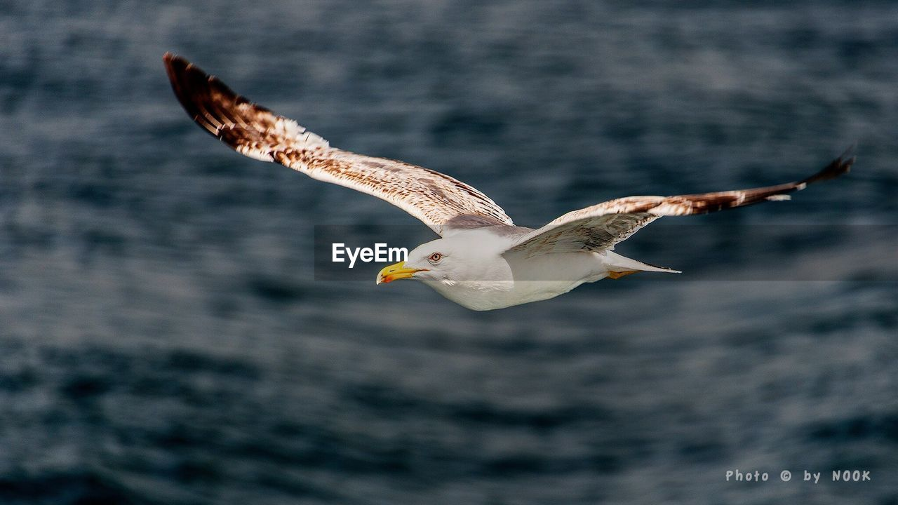 flying, animals in the wild, spread wings, bird, one animal, animal wildlife, animal themes, mid-air, nature, seagull, water, motion, sea, day, no people, beauty in nature, outdoors, bird of prey, close-up