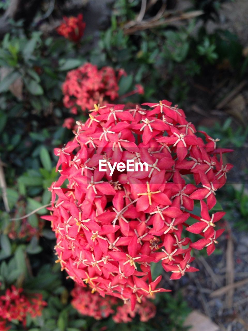 flower, petal, beauty in nature, growth, nature, fragility, flower head, freshness, red, ixora, blooming, plant, day, outdoors, focus on foreground, no people, close-up
