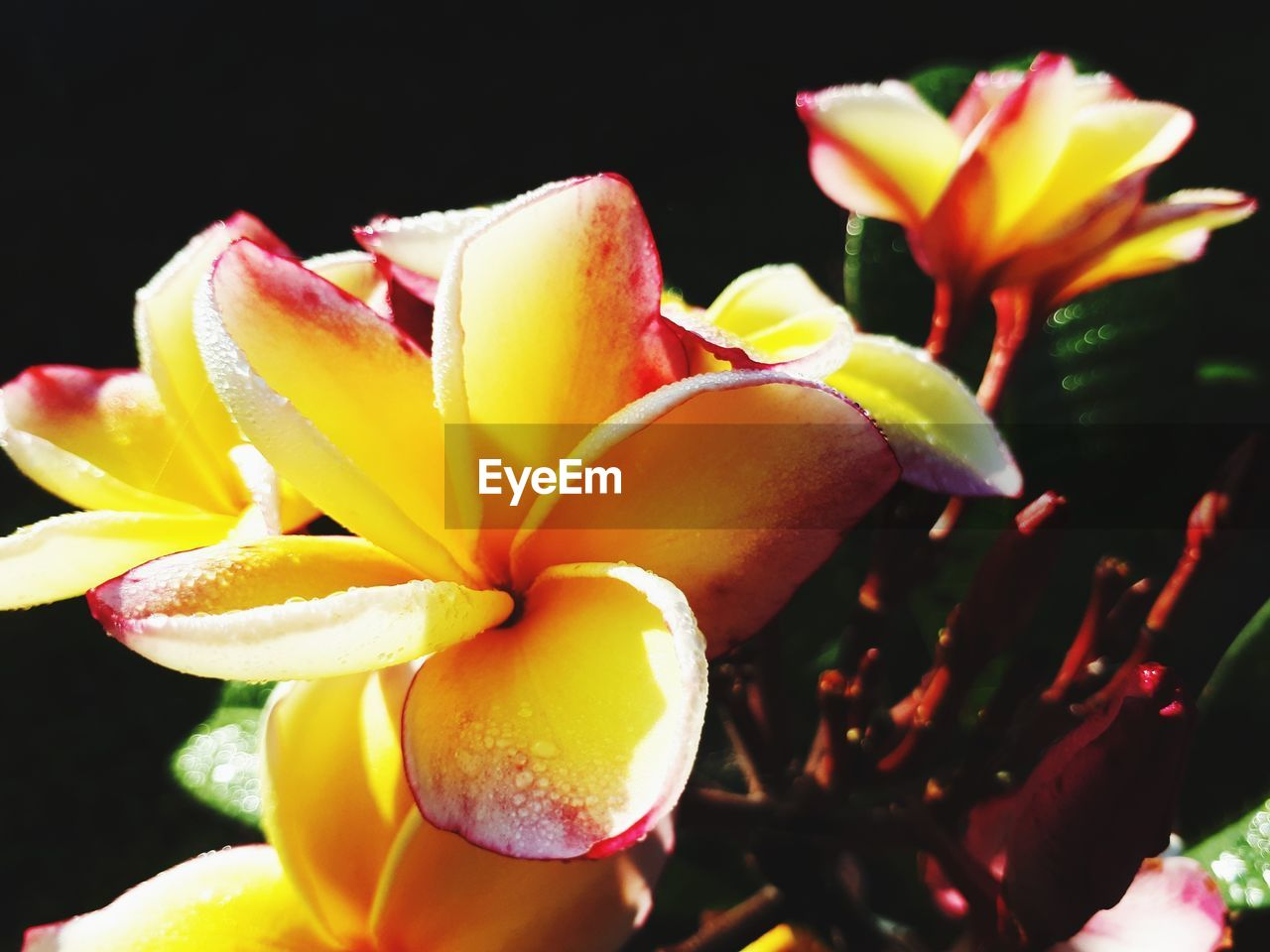 freshness, flowering plant, flower, plant, beauty in nature, petal, vulnerability, close-up, fragility, growth, yellow, inflorescence, flower head, nature, no people, frangipani, black background, day, fruit, outdoors, pollen