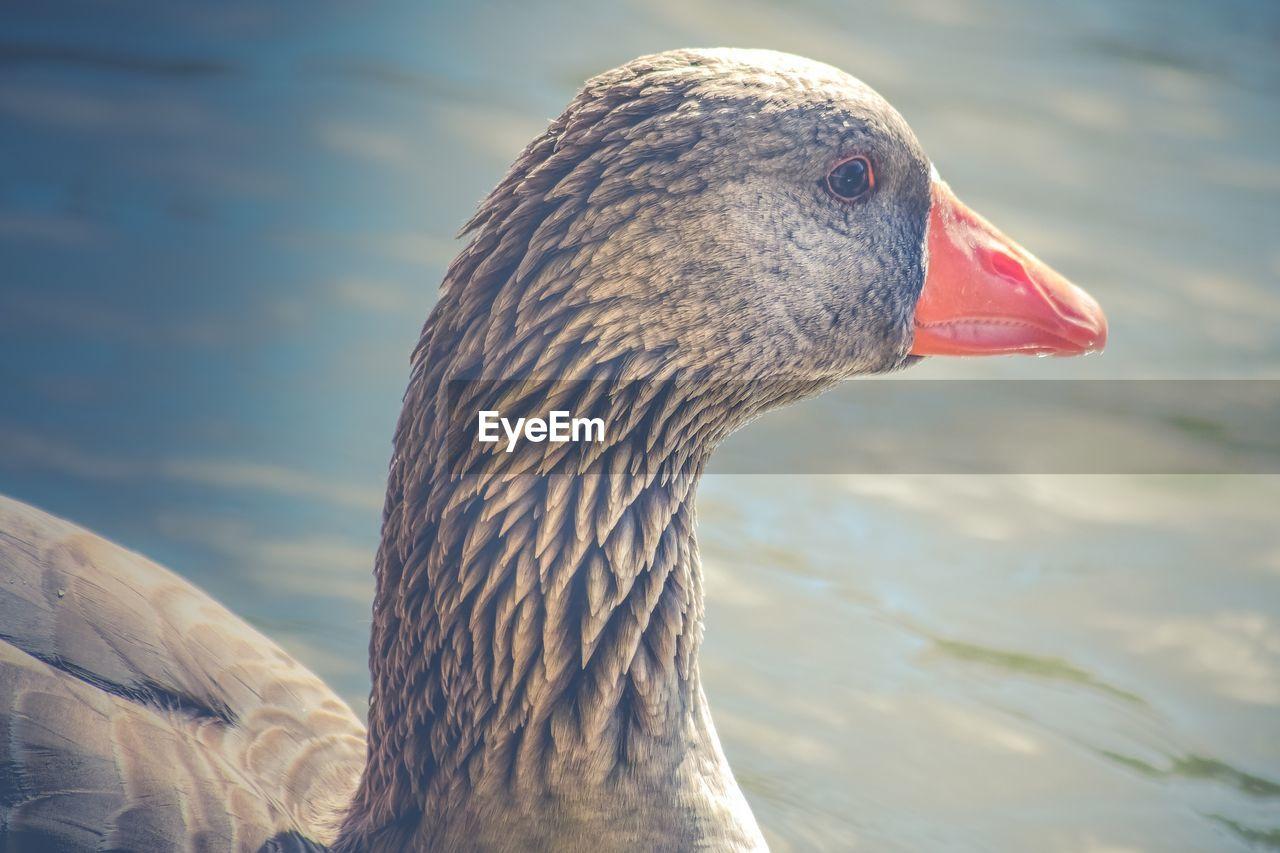 Close-Up Of Greylag Goose Swimming In Lake