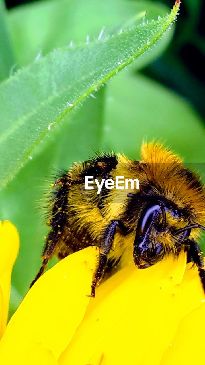 animal, animal themes, insect, animal wildlife, one animal, animals in the wild, invertebrate, bee, close-up, yellow, plant part, leaf, flower, growth, beauty in nature, plant, flowering plant, nature, no people, green color, flower head, bumblebee, pollination