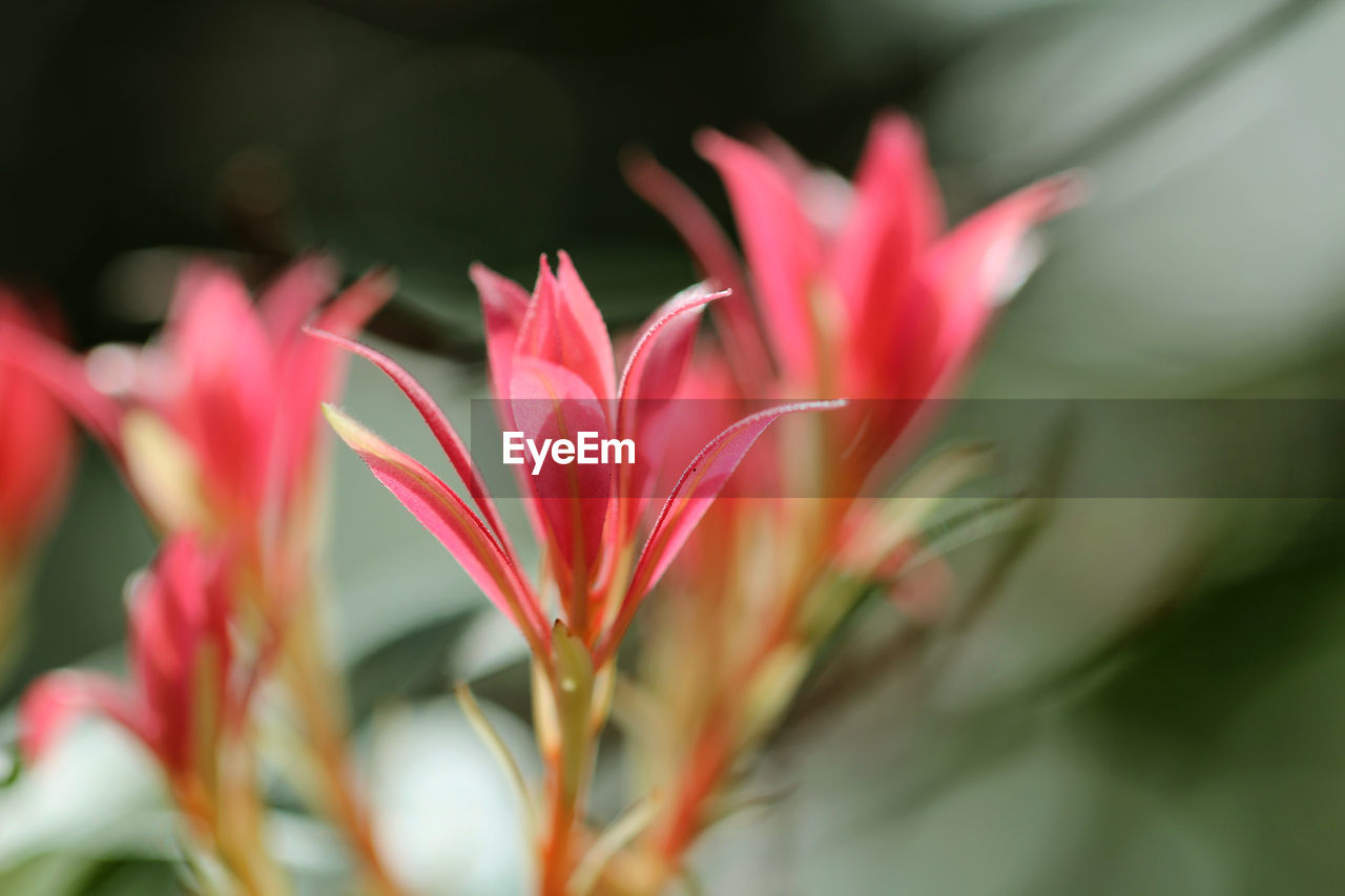 plant, beauty in nature, close-up, growth, flower, selective focus, freshness, flowering plant, fragility, vulnerability, petal, pink color, flower head, inflorescence, no people, nature, day, plant part, focus on foreground, outdoors
