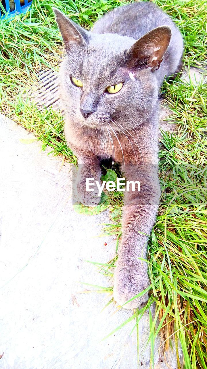 one animal, animal themes, mammal, pets, domestic cat, domestic animals, feline, portrait, high angle view, no people, looking at camera, day, outdoors, nature, close-up