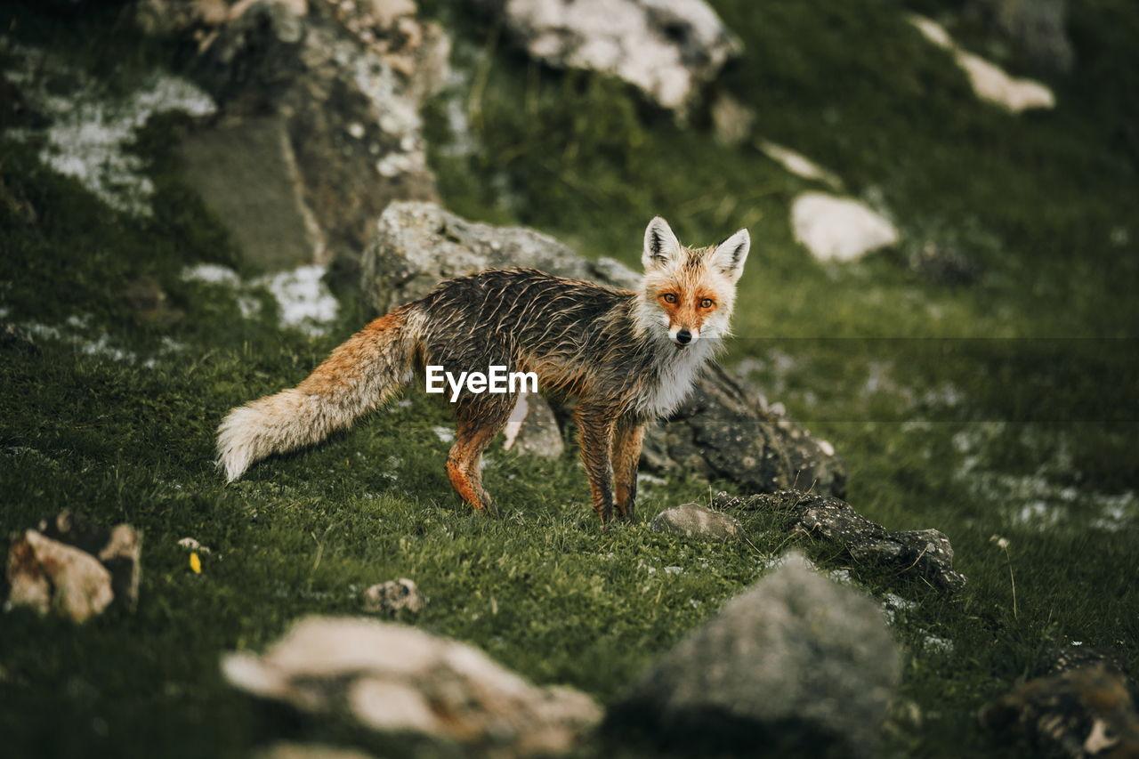 Fox Standing On Grassy Field