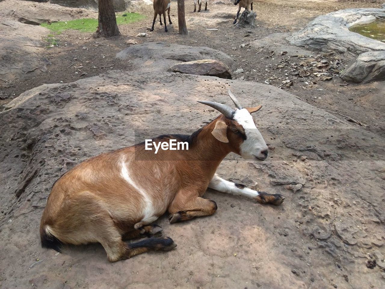 mammal, animal, animal themes, vertebrate, animal wildlife, relaxation, land, domestic animals, one animal, field, no people, nature, horned, high angle view, animals in the wild, day, domestic, pets, brown, herbivorous