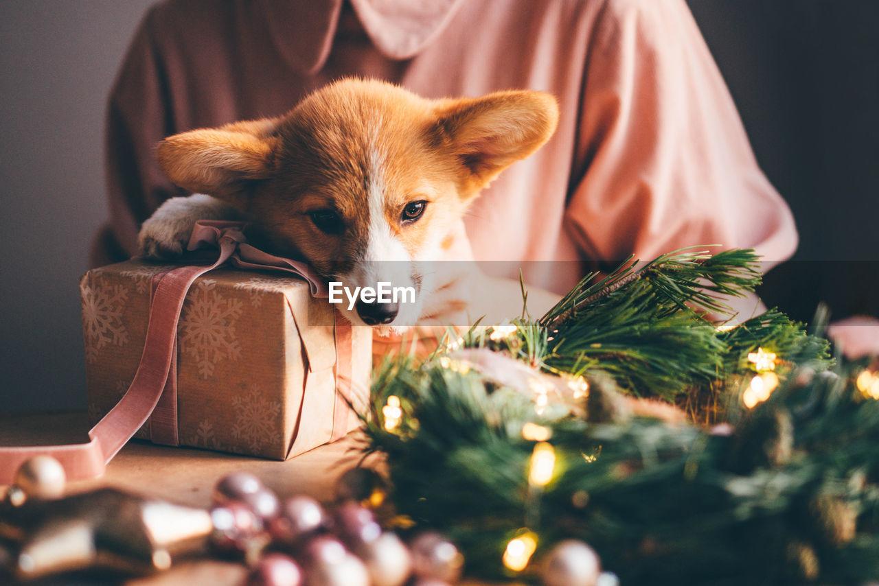 Corgi puppy with christmas present.