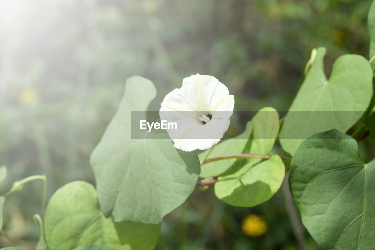 flower, leaf, growth, nature, white color, beauty in nature, petal, fragility, focus on foreground, plant, green color, flower head, freshness, day, blooming, close-up, no people, outdoors, periwinkle