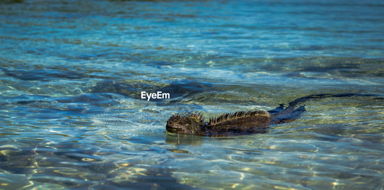 Close-up of iguana swimming in sea