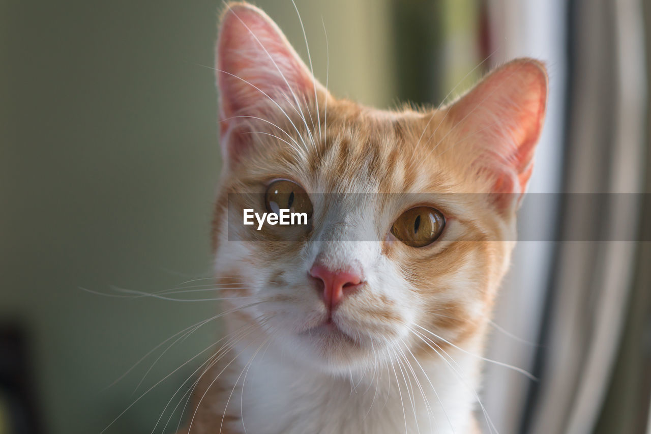 pets, domestic, domestic animals, cat, domestic cat, animal themes, mammal, animal, feline, one animal, vertebrate, whisker, portrait, focus on foreground, looking at camera, close-up, no people, animal body part, day, looking, animal head, ginger cat, animal eye, tabby