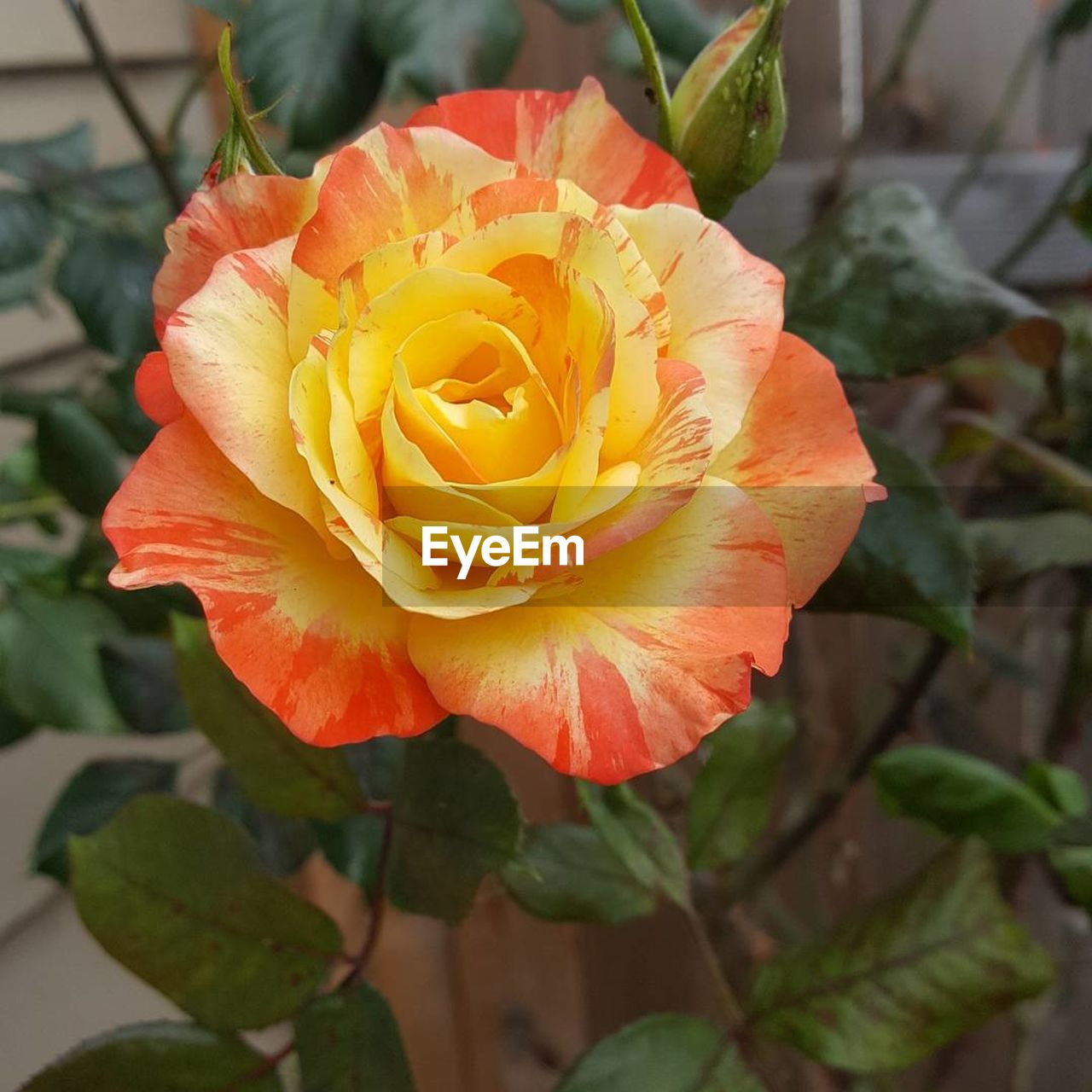 flower, nature, petal, beauty in nature, rose - flower, flower head, fragility, plant, freshness, growth, no people, close-up, outdoors, blooming, day
