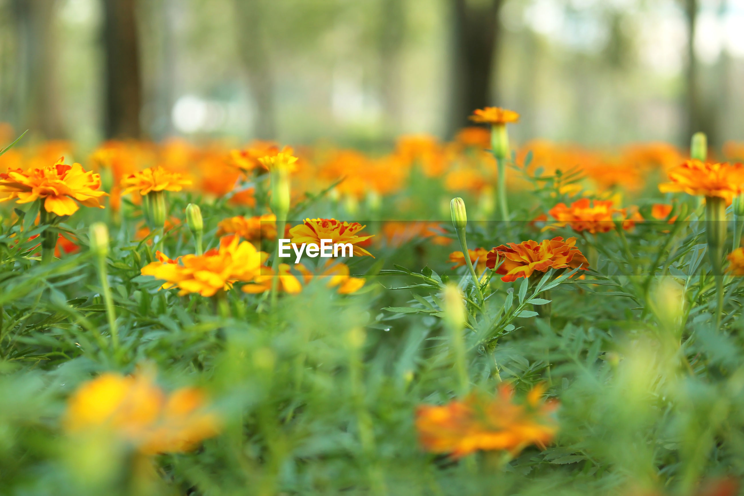 CLOSE-UP OF ORANGE FLOWERS ON FIELD