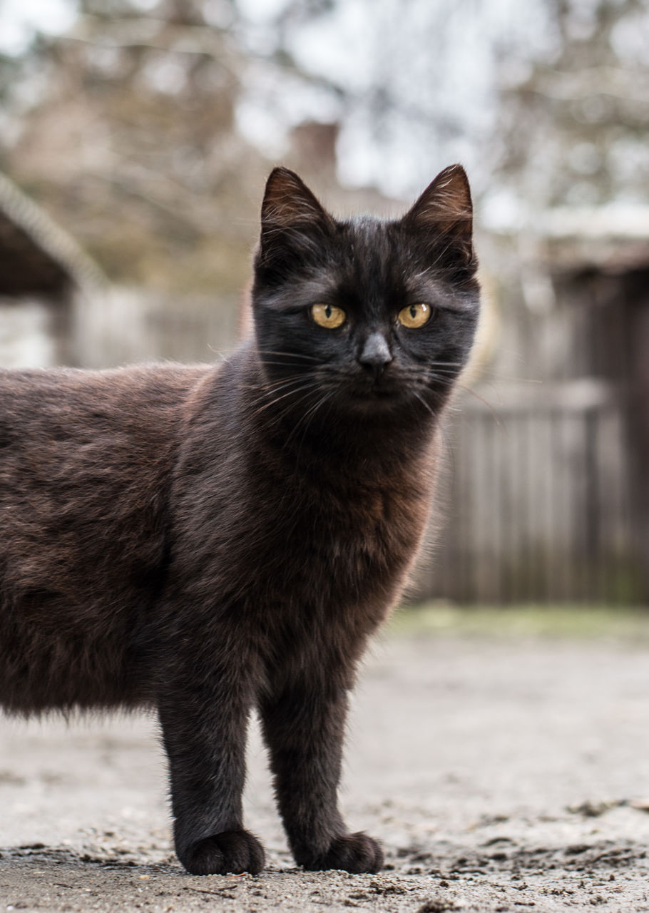 cat, pets, domestic, domestic cat, mammal, domestic animals, feline, focus on foreground, one animal, looking at camera, portrait, vertebrate, no people, day, whisker, outdoors, close-up