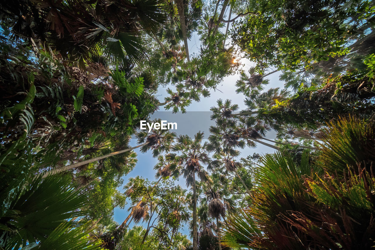 tree, plant, growth, beauty in nature, low angle view, sky, nature, no people, tranquility, day, outdoors, branch, scenics - nature, tranquil scene, forest, green color, palm tree, land, non-urban scene, tall - high, directly below, tree canopy
