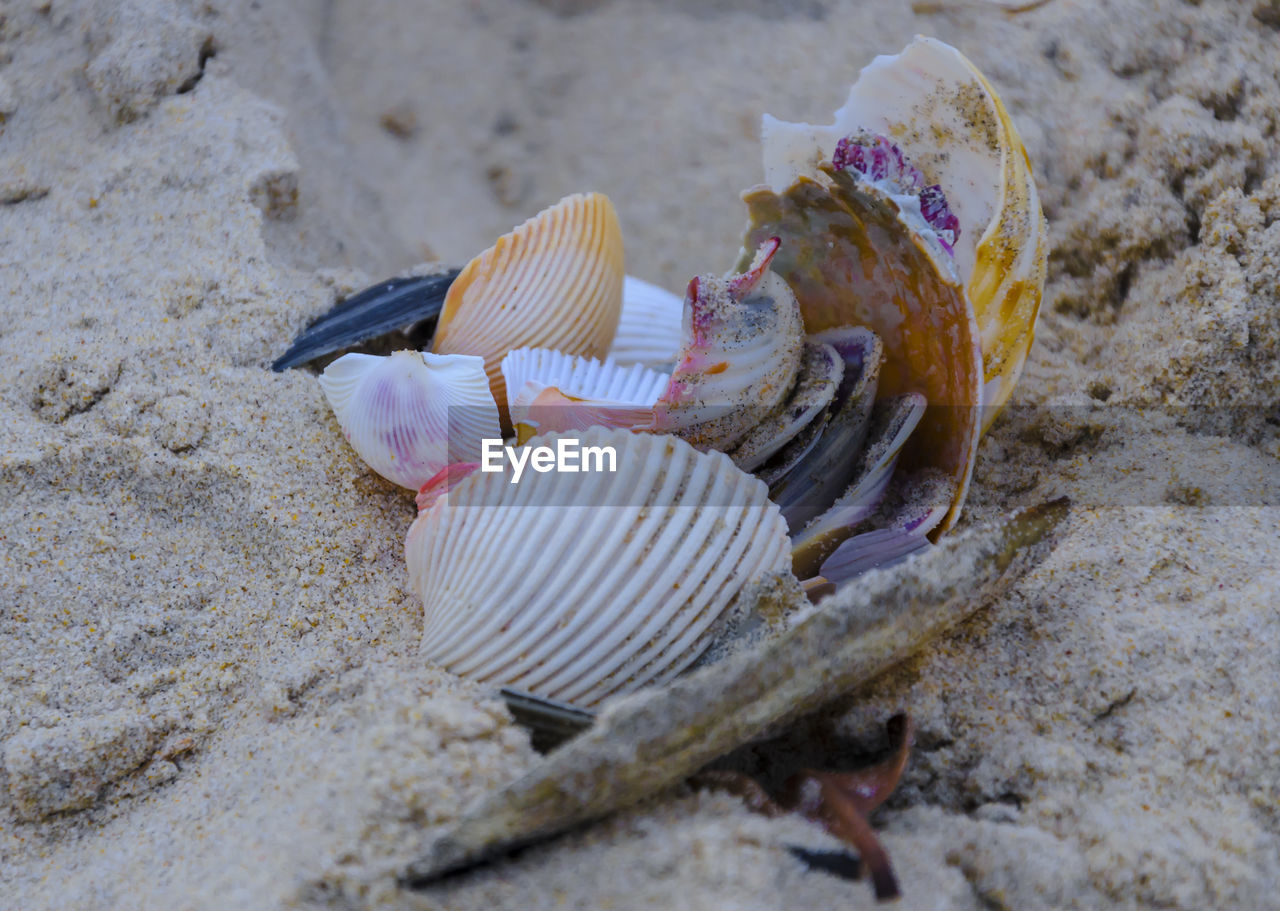 shell, seashell, animal, animal wildlife, close-up, no people, land, animal shell, sand, animal themes, beach, selective focus, animals in the wild, nature, day, sea life, outdoors, marine, sea, high angle view