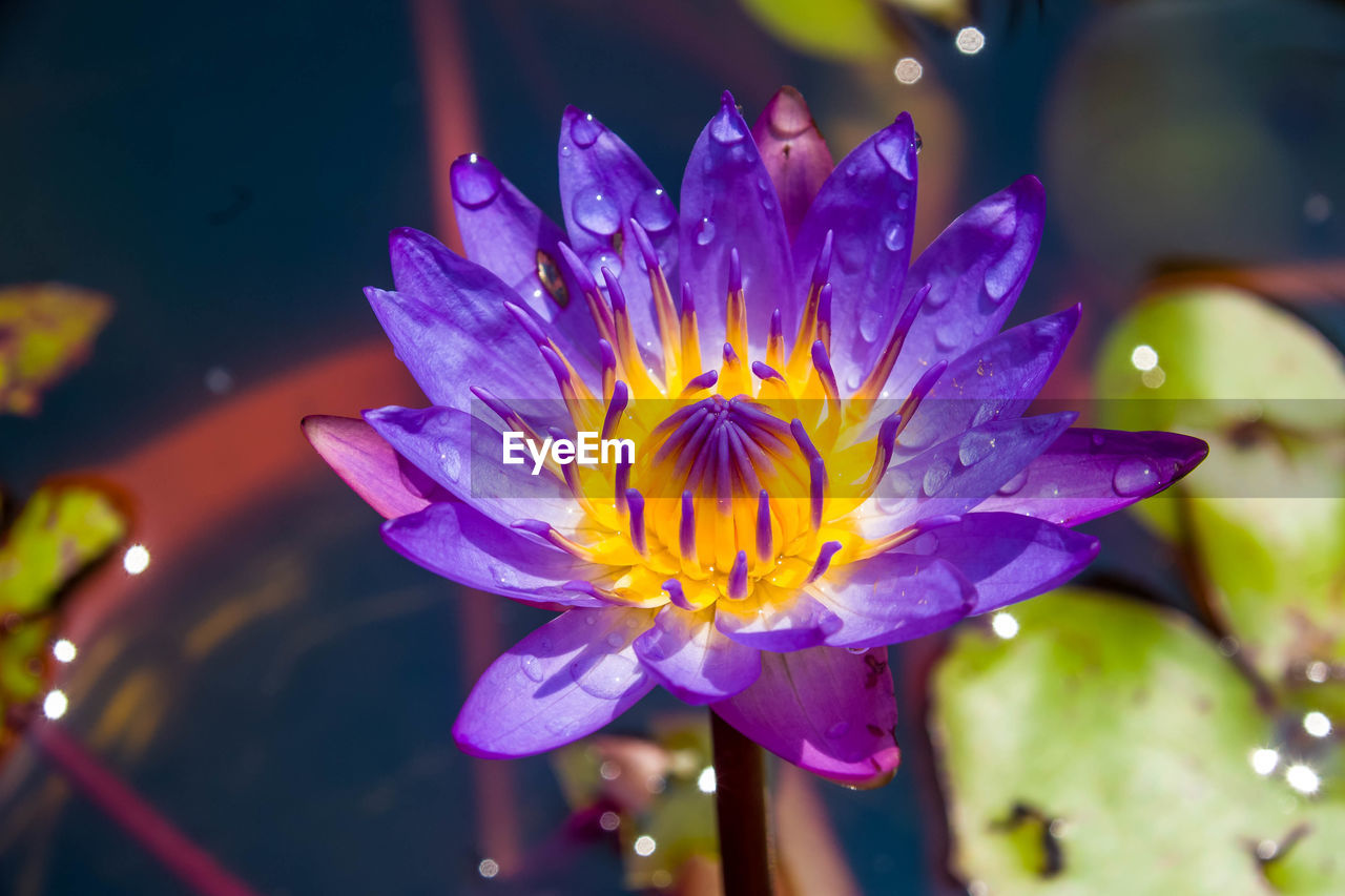 flower, flowering plant, vulnerability, plant, petal, fragility, beauty in nature, freshness, growth, close-up, inflorescence, flower head, water, water lily, nature, purple, pollen, no people, focus on foreground, dew