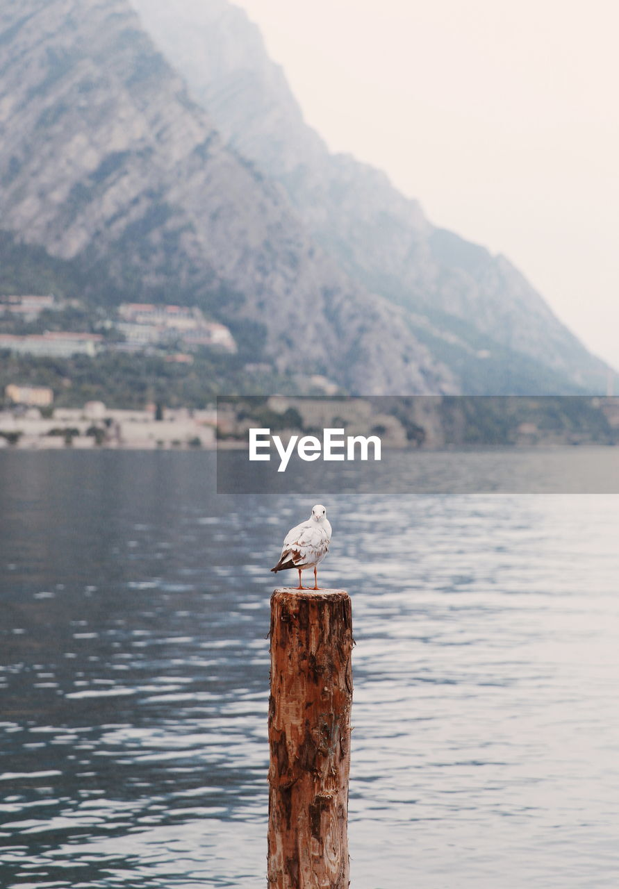 Seagull perching on wooden post in lake