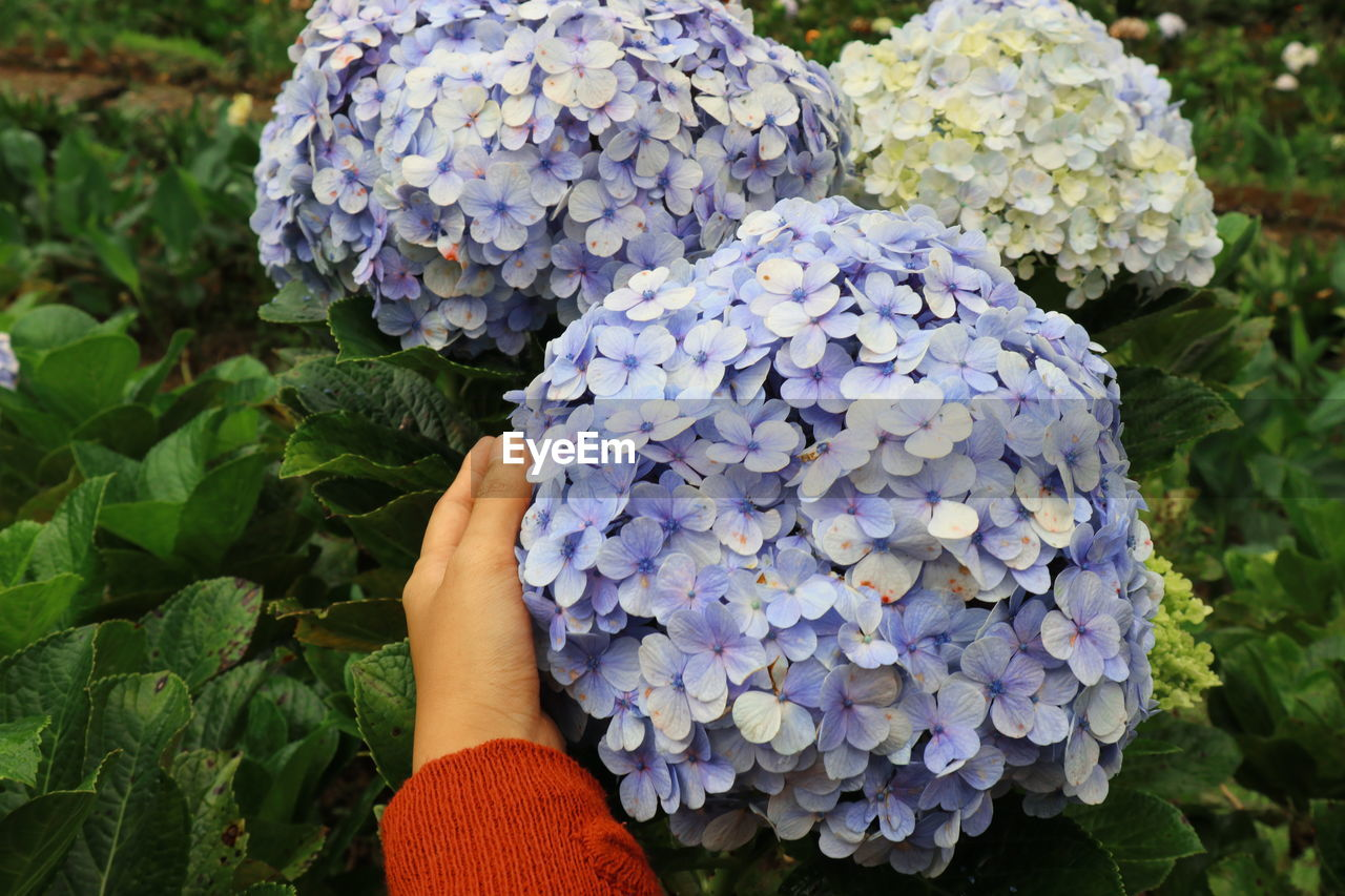 plant, freshness, one person, flower, growth, flowering plant, leaf, vulnerability, plant part, hand, beauty in nature, human hand, close-up, real people, fragility, human body part, nature, hydrangea, day, flower head, purple, outdoors, finger, bunch of flowers