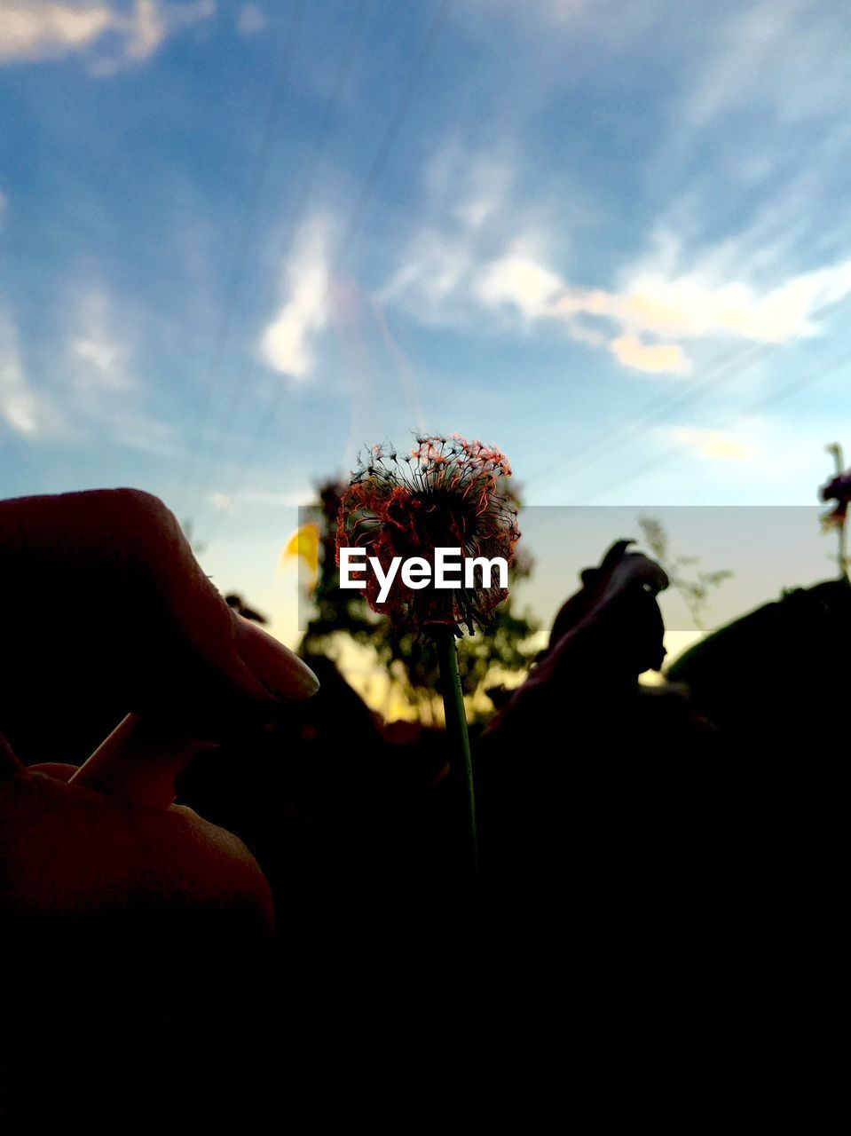 flower, human hand, nature, one person, silhouette, sky, beauty in nature, human body part, holding, fragility, flower head, real people, outdoors, growth, sunset, close-up, freshness, day, people