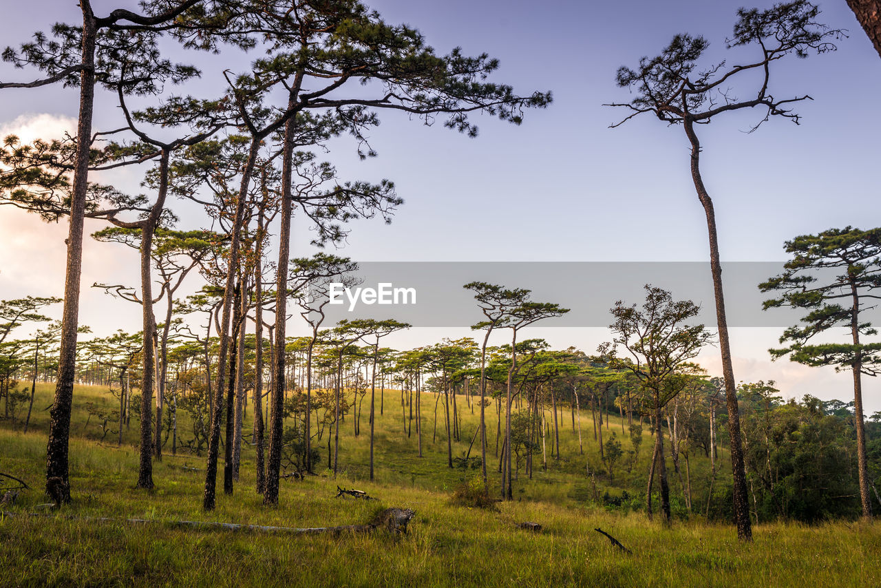 tree, plant, sky, land, growth, tranquility, beauty in nature, nature, tranquil scene, green color, no people, landscape, scenics - nature, environment, non-urban scene, forest, outdoors, trunk, field, day