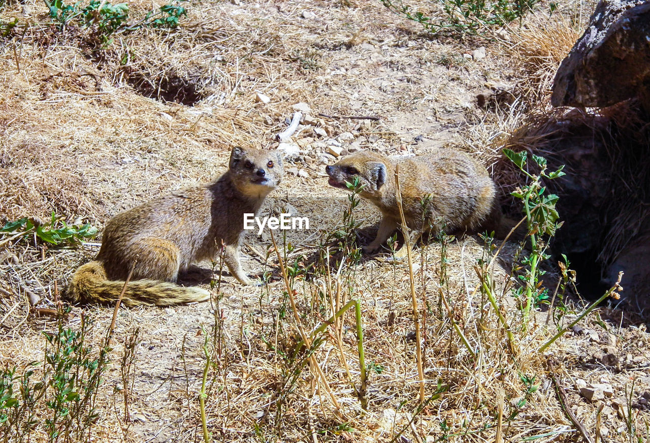 High Angle View Of Mongoose Sitting Outdoors
