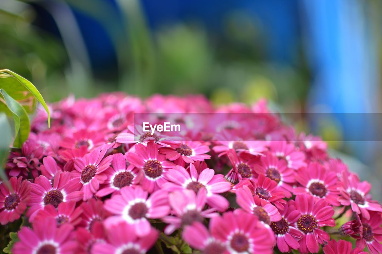 Close-up of pink flowers in park