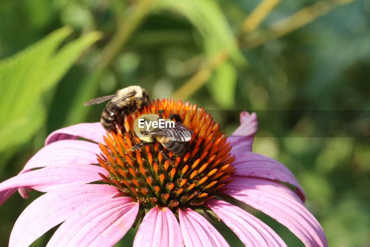 Close-up of bees on eastern purple coneflower blooming outdoors