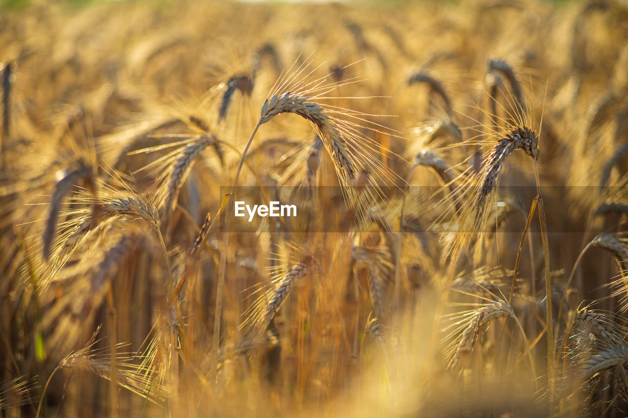 crop, agriculture, cereal plant, field, wheat, farm, land, plant, growth, rural scene, landscape, nature, no people, selective focus, close-up, beauty in nature, day, ear of wheat, tranquility, backgrounds, outdoors, rye - grain