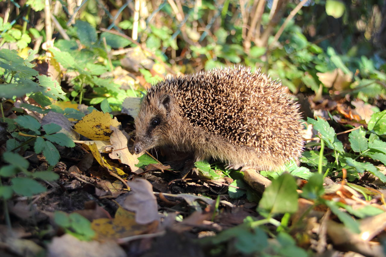 animal, one animal, leaf, animal themes, plant part, mammal, animal wildlife, animals in the wild, nature, land, no people, field, close-up, day, hedgehog, plant, selective focus, outdoors, rodent, vertebrate