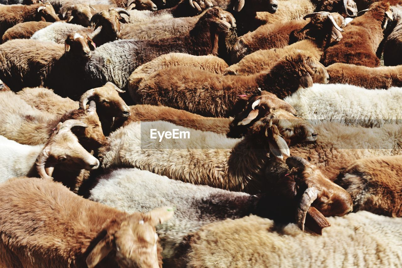 mammal, animal themes, animal, group of animals, domestic animals, pets, domestic, livestock, sheep, flock of sheep, vertebrate, no people, large group of animals, wool, agriculture, day, nature, textile, herbivorous, full frame, herd, softness