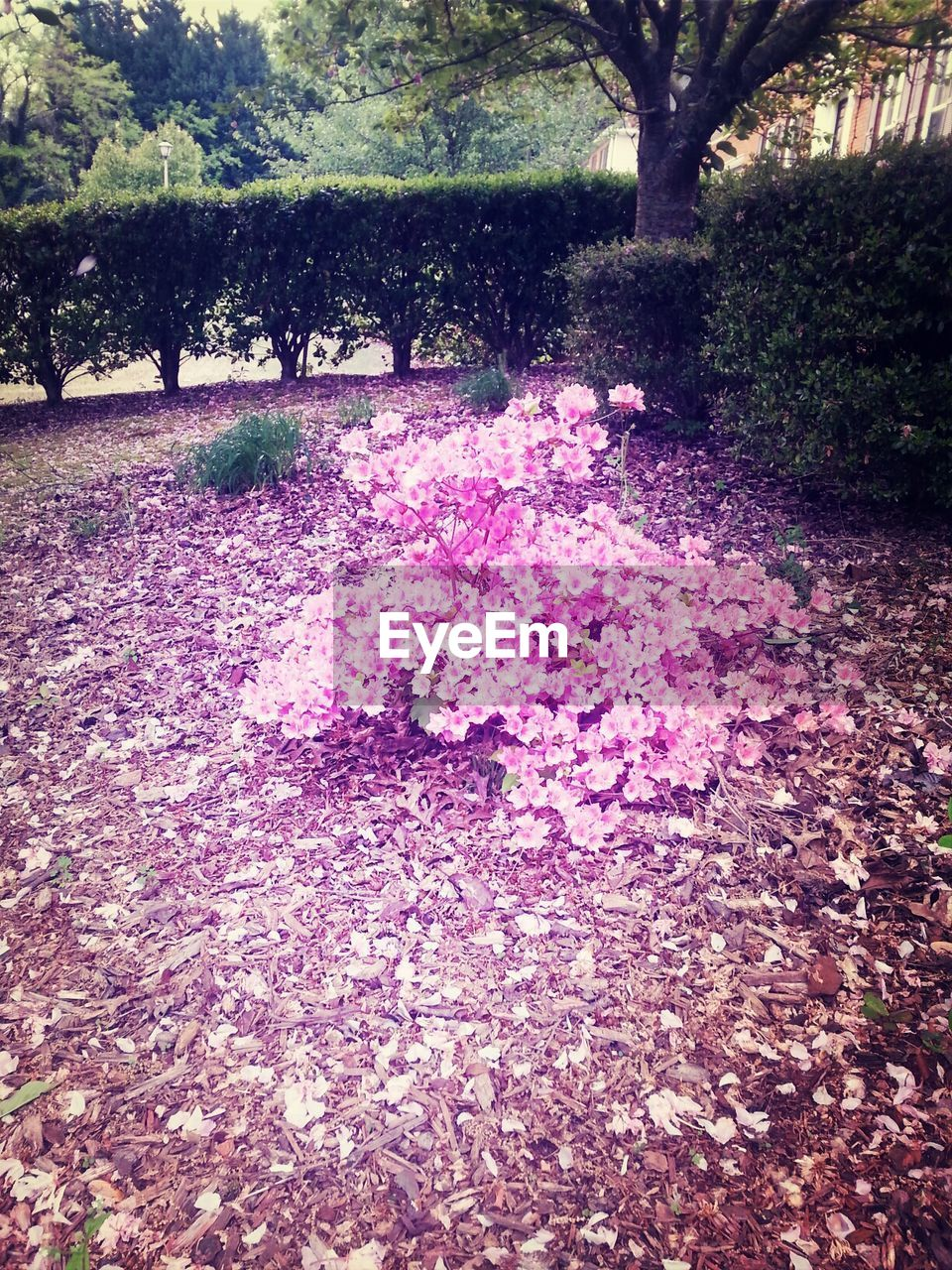 Park with pink flowers