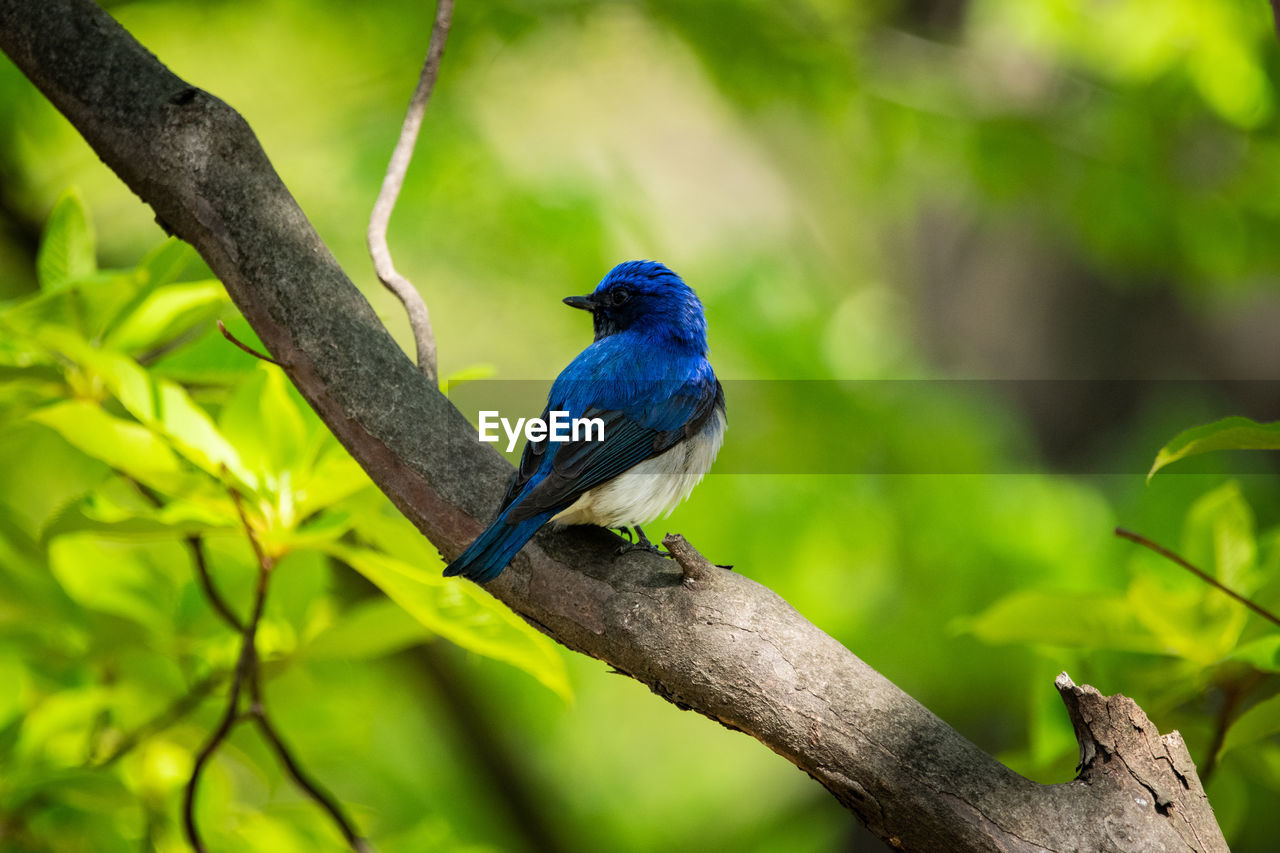 animal wildlife, animals in the wild, animal themes, animal, bird, one animal, perching, tree, branch, vertebrate, plant, no people, focus on foreground, blue, day, nature, close-up, beauty in nature, outdoors, zoology