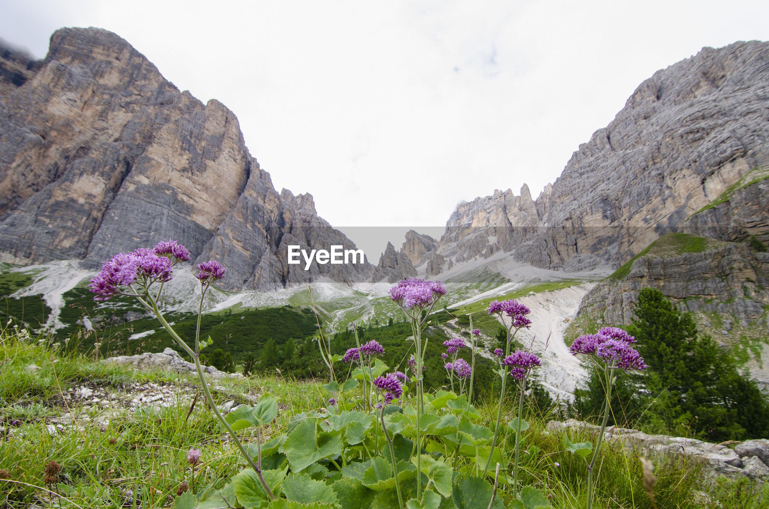 Purple flowering plants on rocky mountain against sky