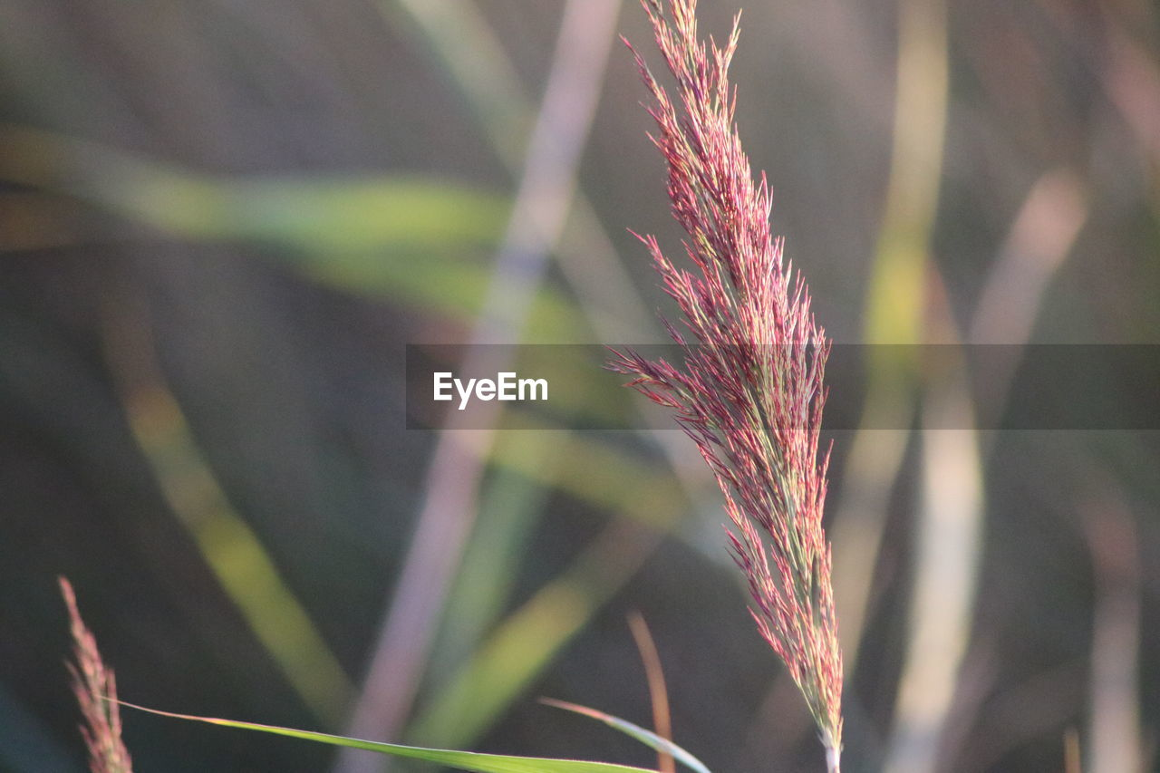 plant, growth, nature, close-up, focus on foreground, beauty in nature, day, tranquility, no people, selective focus, land, outdoors, sunlight, field, plant stem, crop, agriculture, plant part, grass, fragility, stalk