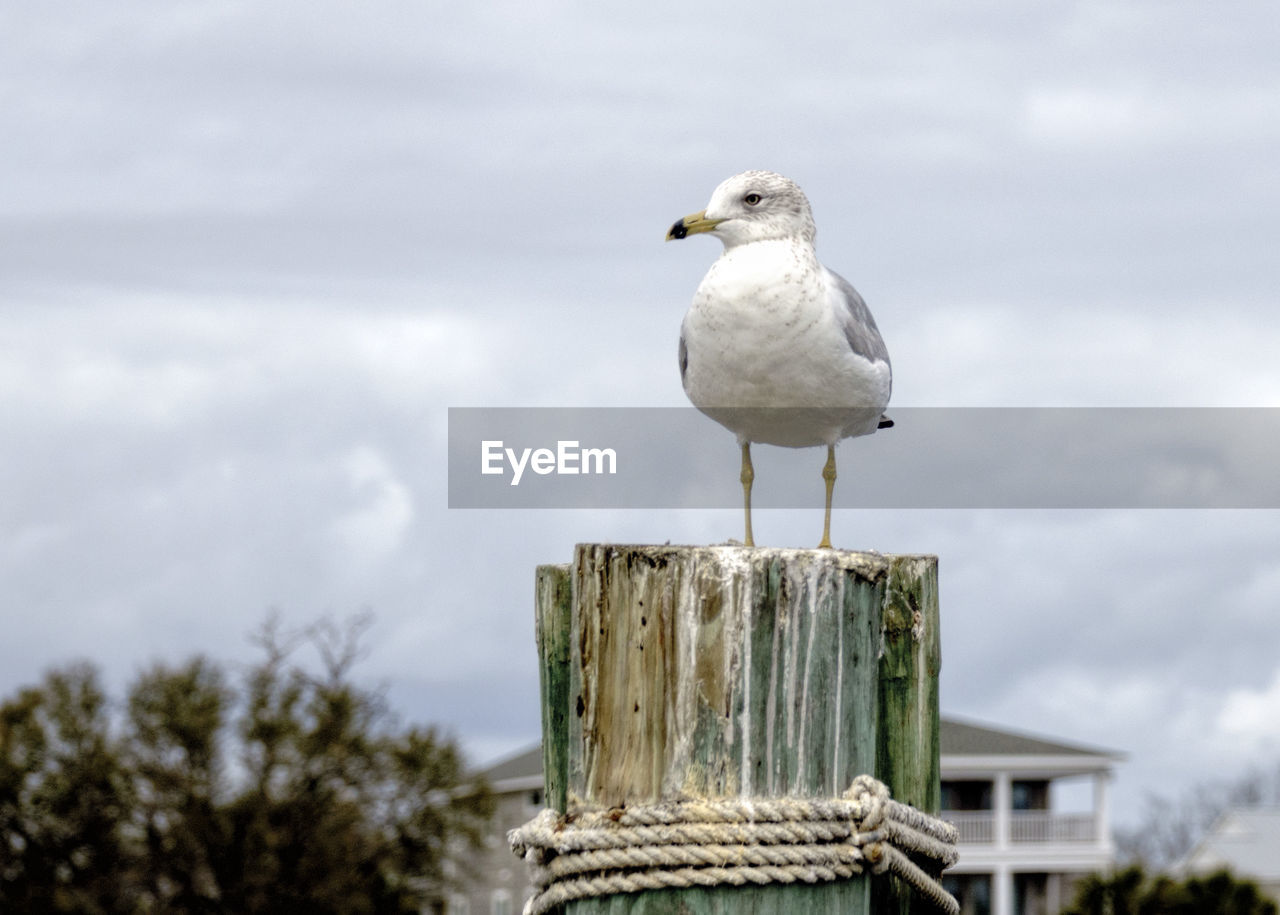 animal, bird, vertebrate, animal themes, animal wildlife, perching, one animal, animals in the wild, seagull, focus on foreground, day, sky, cloud - sky, nature, wooden post, post, no people, wood - material, outdoors, white color