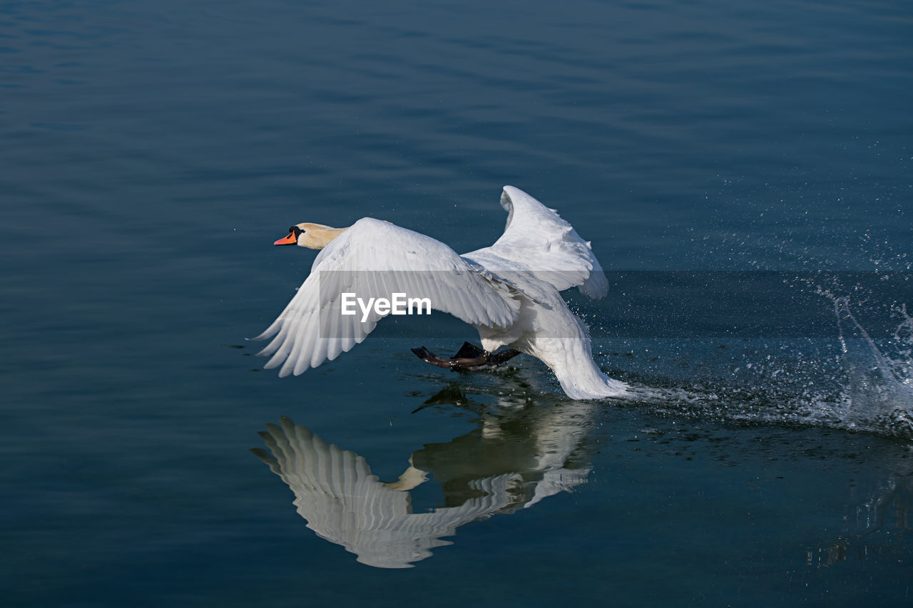 bird, water, animals in the wild, animal themes, animal wildlife, animal, vertebrate, lake, waterfront, flying, one animal, spread wings, water bird, reflection, white color, no people, swan, nature, beauty in nature, animal wing, flapping