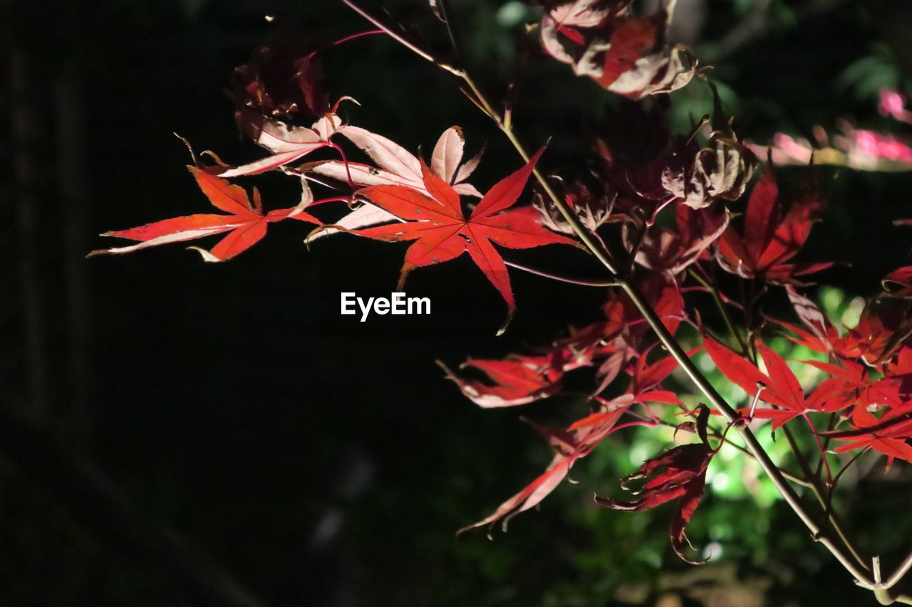 growth, red, autumn, nature, leaf, beauty in nature, change, no people, maple leaf, outdoors, close-up, night, maple