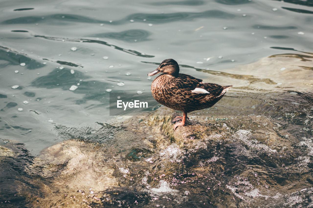 High Angle View Of Female Mallard Duck Perching At Lakeshore