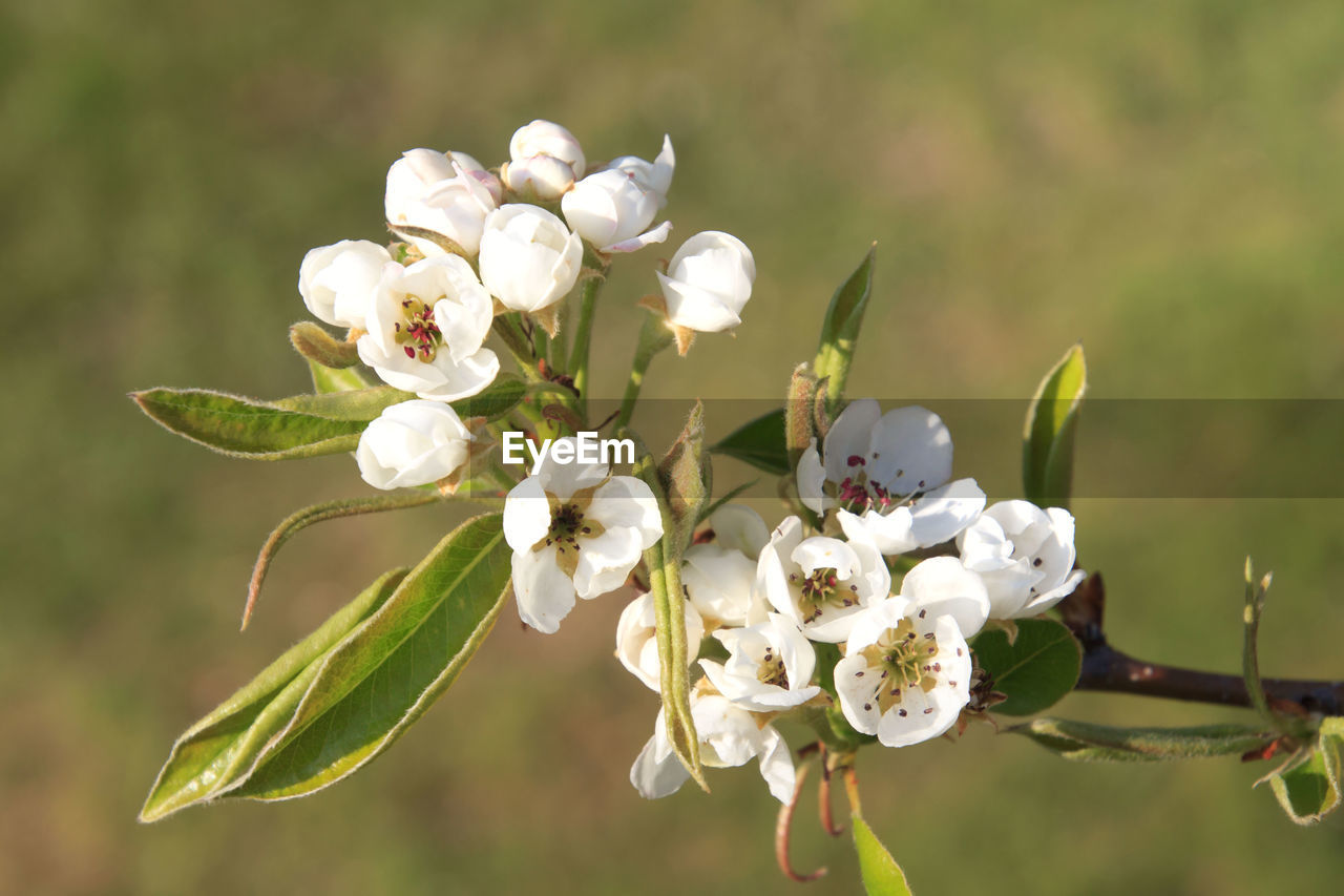 flower, flowering plant, plant, beauty in nature, fragility, vulnerability, growth, freshness, petal, close-up, focus on foreground, white color, inflorescence, flower head, day, nature, no people, leaf, blossom, tree, springtime, pollen, cherry blossom