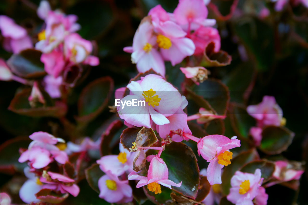 flowering plant, flower, petal, fragility, beauty in nature, vulnerability, freshness, plant, growth, flower head, inflorescence, close-up, pink color, no people, nature, pollen, day, botany, selective focus, springtime, outdoors, purple, cherry blossom