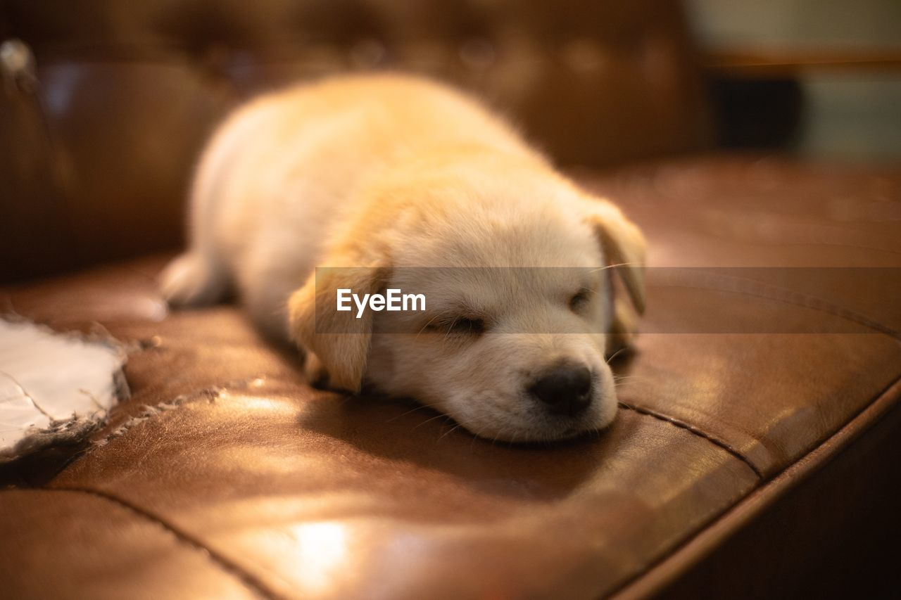 domestic, pets, one animal, canine, dog, mammal, domestic animals, animal themes, relaxation, animal, indoors, sleeping, eyes closed, vertebrate, puppy, close-up, young animal, selective focus, no people, resting, flooring, animal head, napping