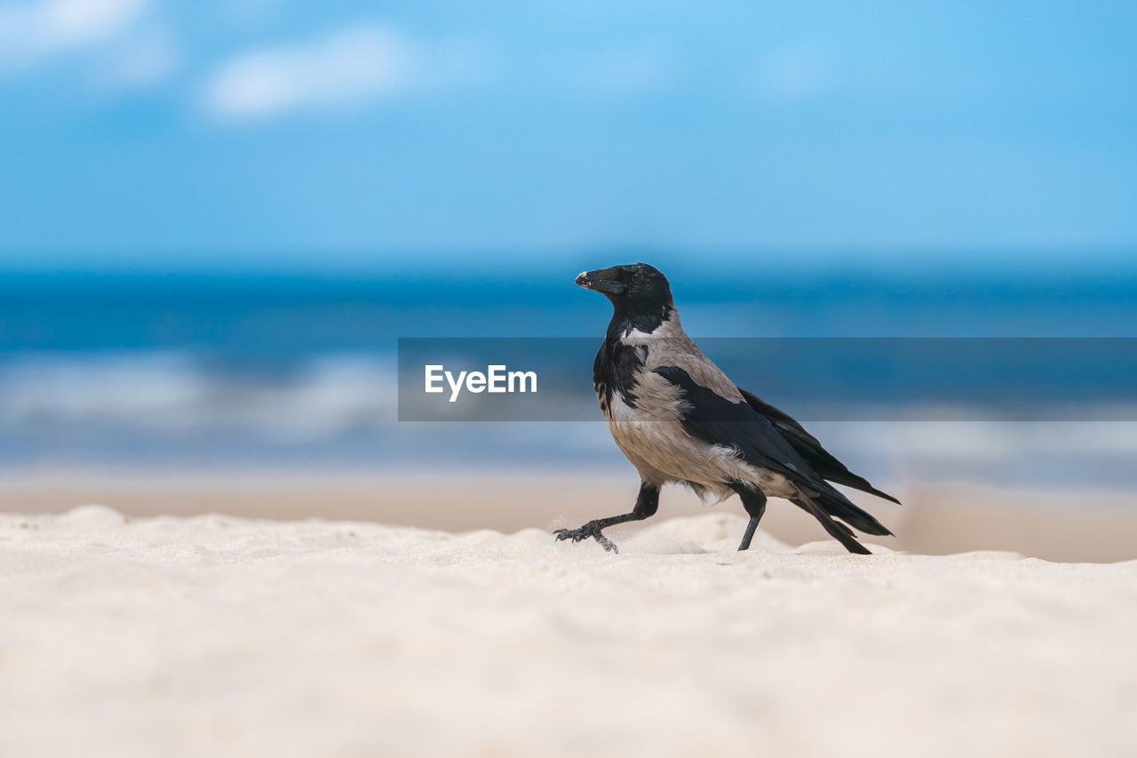 sea, animal, animal wildlife, one animal, animal themes, vertebrate, bird, beach, animals in the wild, land, horizon over water, selective focus, sand, sky, horizon, day, water, nature, no people, beauty in nature, outdoors, seagull