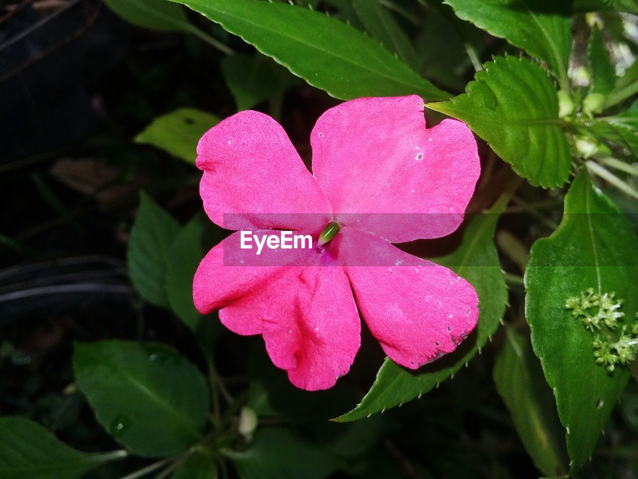 petal, growth, flower, pink color, leaf, beauty in nature, nature, flower head, periwinkle, blooming, fragility, freshness, day, plant, outdoors, no people, close-up